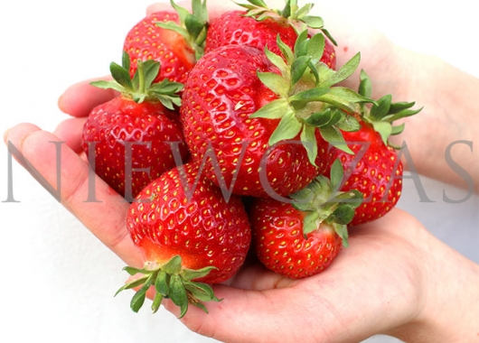 Polka strawberry fruits on hands
