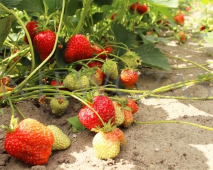 Selva strawberry plants